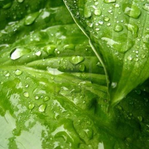Wet Green Leaves In The Rain