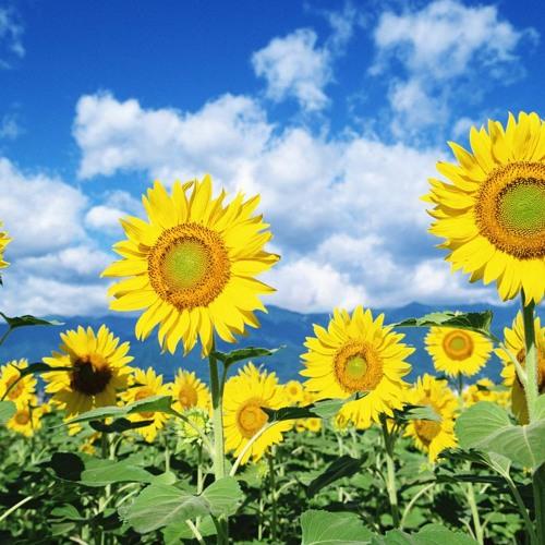Mentha - Sunflower #VibeWar