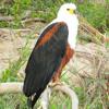 Fischadler am Fluss im Kruger National Park, South Africa