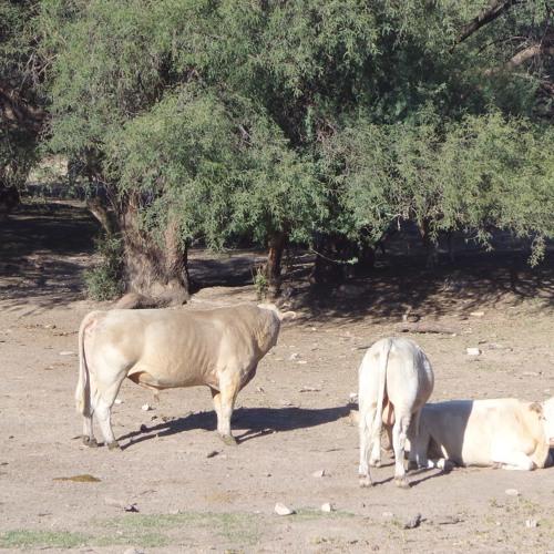 Two bulls singing in the desert of Arizona
