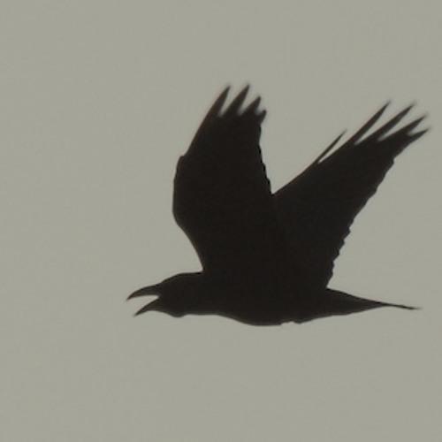 Raven gathering