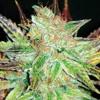 Médical Seed-2014-(esx only) mp3
