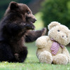BABY BEAR (voice and letters by Amiya )