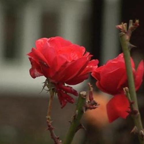 English Rose (Rough Mix)