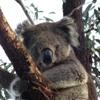 the song of the koala!
