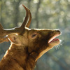 Fallow Deer Groaning