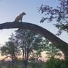 The Self Conscious Leopard