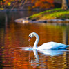 The Swan (from