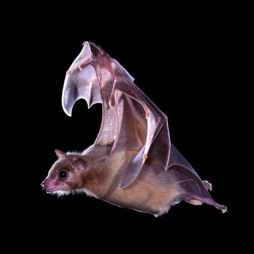Bats Reveal Neurons Role in 3D Navigation