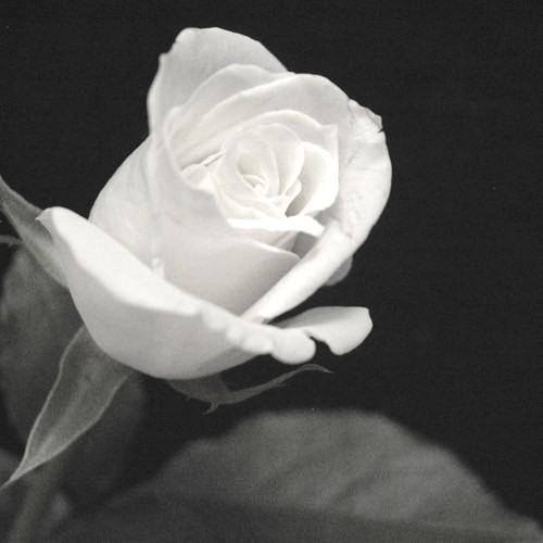 Dual Shaman - The White Rose