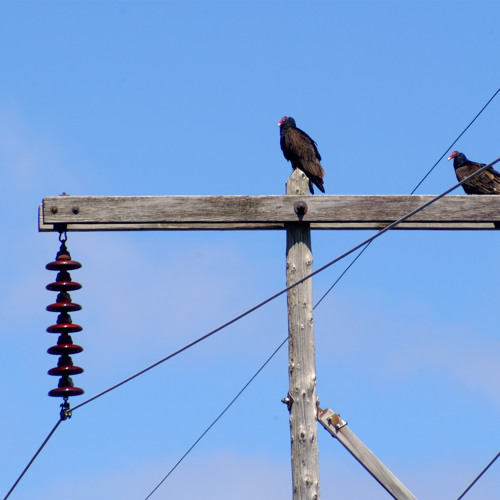 Turkey Vultures - Rachael