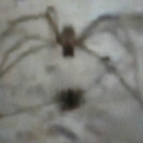 Broda Mo - Dancing Spider
