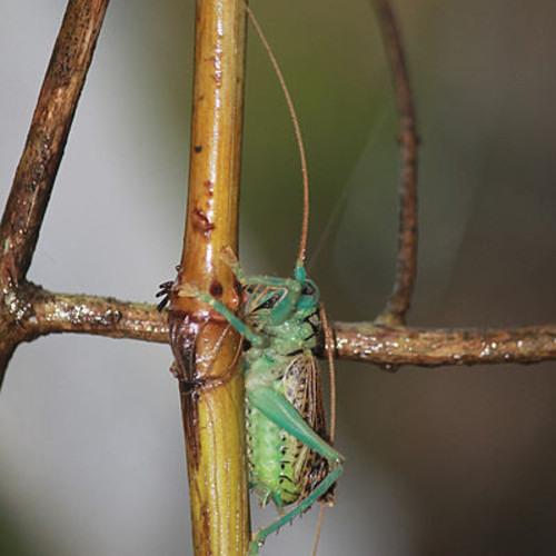 Dave D'aranjo | Dawkins' Chorus of Crickets | legit crickets audio recording slowed way down