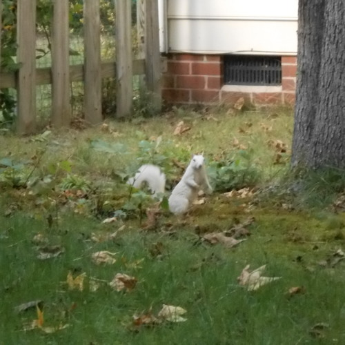 White Squirrels in the West End