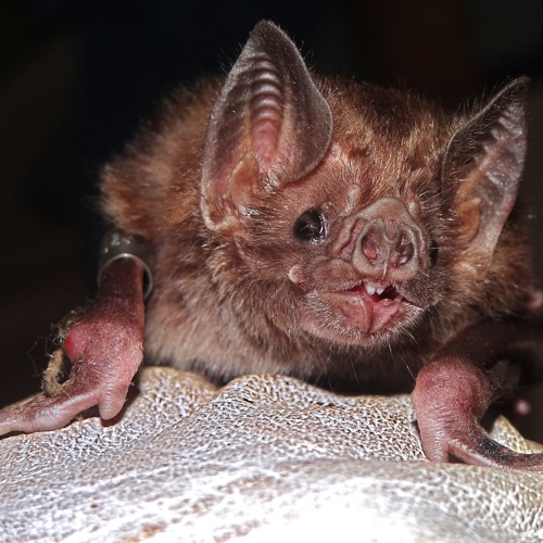 Prize-Winning Essay: Bats Illuminate Ways to Control and Prevent Disease