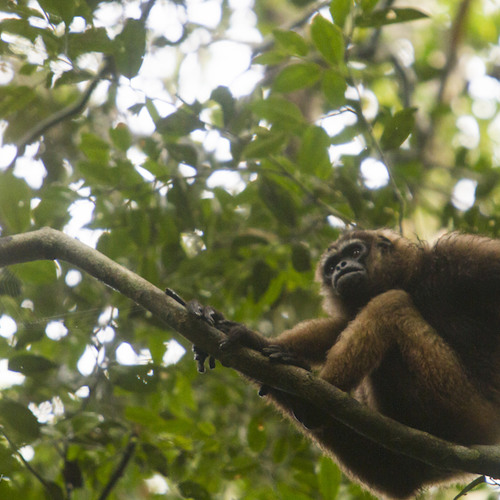Southern Bornean Gibbon Great Call