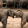 Lek Chailert Singing Elephant Lullaby