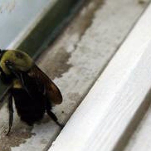 Trapped Bee With Chopin In Background