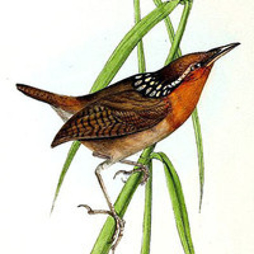 Musician Wren (Cyphorhinus arada): Recorded by Tayler Brooks
