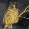 Blakistons Fish Owl duet (Bubo blakistoni): Recorded by David Mellor