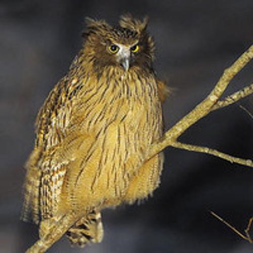 Blakistons Fish Owl duet (Bubo blakistoni): Recorded by David Mellor