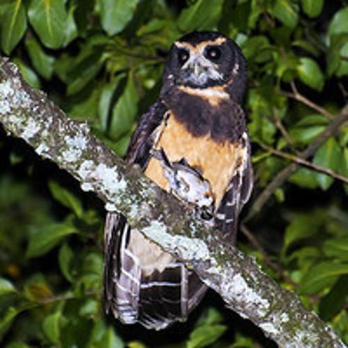 Tawny-browed Owl (Pulsatrix koeniswaldiana): Recorded by Jeremy Minns