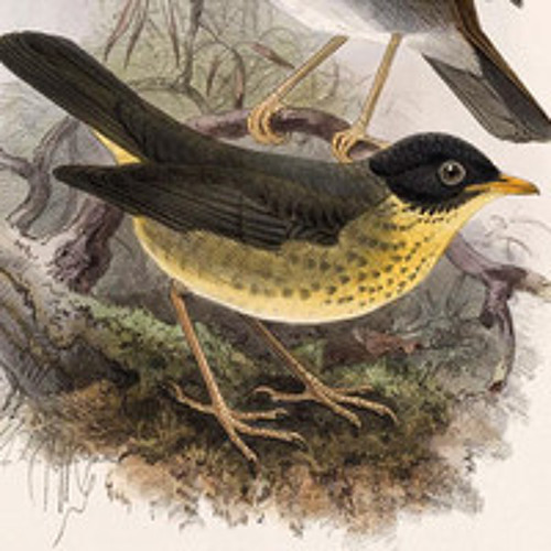 Spotted Nightingale-Thrush (Catharus dryas): Recorded by Andrew Spencer