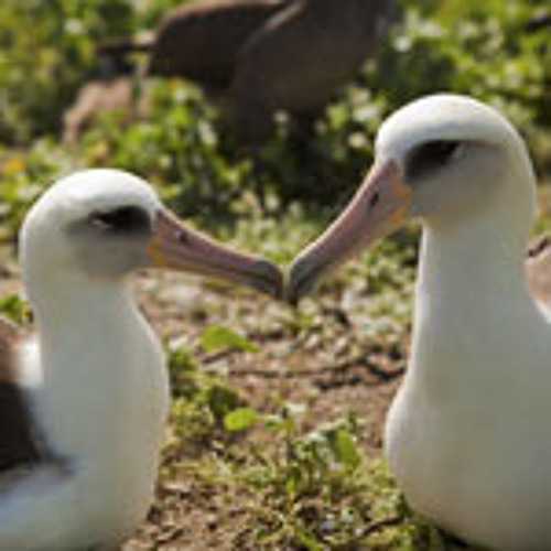 Laysan Albatross (Phoebastria immutabilis) - Recorded by David Mellor