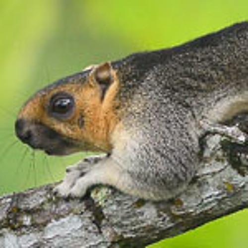 Cream-coloured Giant Squirrel, Sarawak, Malaysia