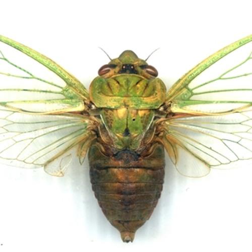 The cicadas of Victoria