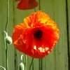 Poppies by Mary Oliver read by Hannah Martin