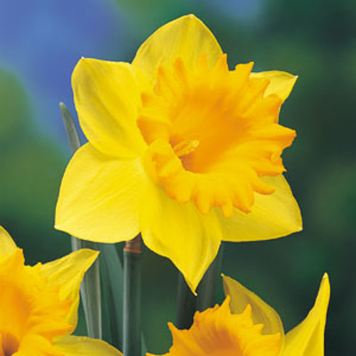 The Daffodils By William Wordsworth
