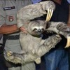 Sloth Gone Rogue