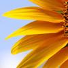 Sunflower Oil Demo Sample Mp3