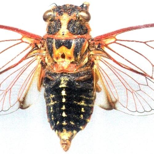 Cicada: Golden Twanger calling song