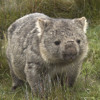 the sound of wombat