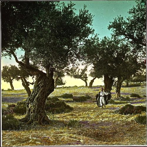 درخت زیتون، آردو تونجبویاجیان