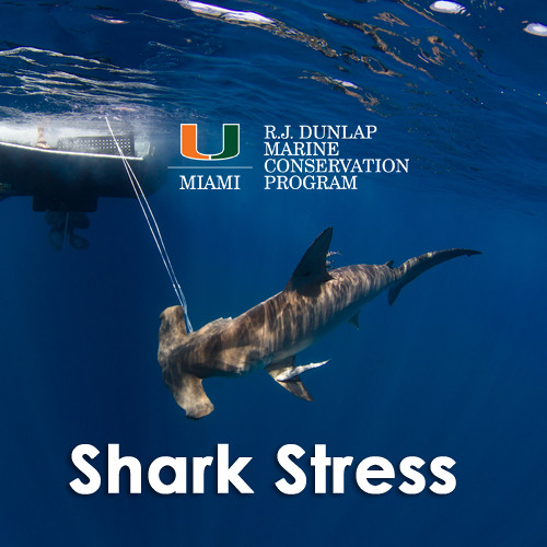 Shark Stress in Catch and Release Fishing
