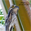 Common Potoo, Pájaro Estaca mp3