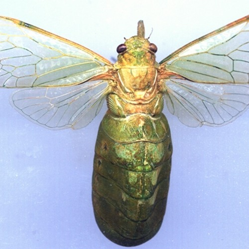 Large Bottle Cicada calling song