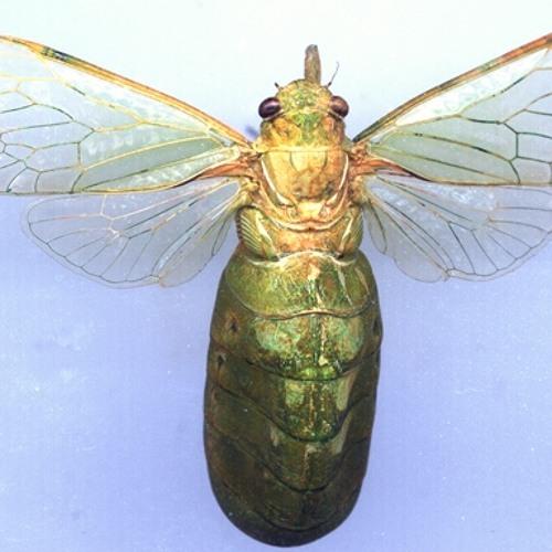 Large Bottle Cicada (Glaucopsaltria viridis) calling song