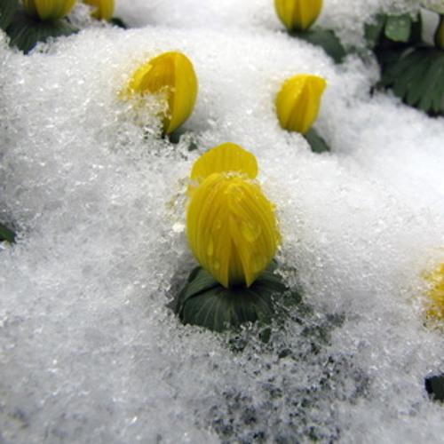MACRIMA - Der erste Winterling