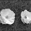 Download Flor en vivo Mp3