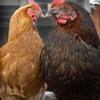 Chicken Train (Live 1976)