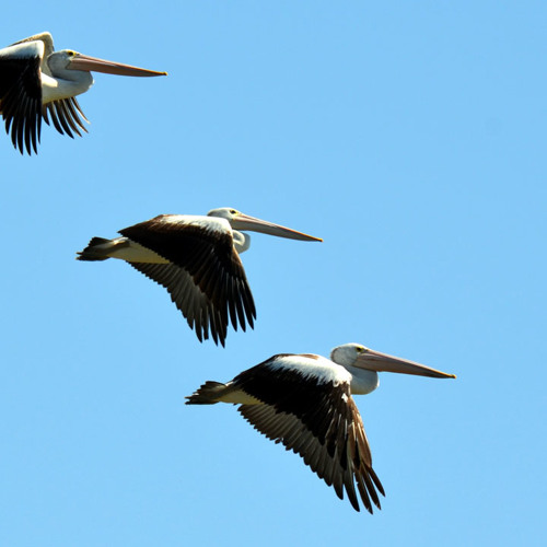 Mock pelican