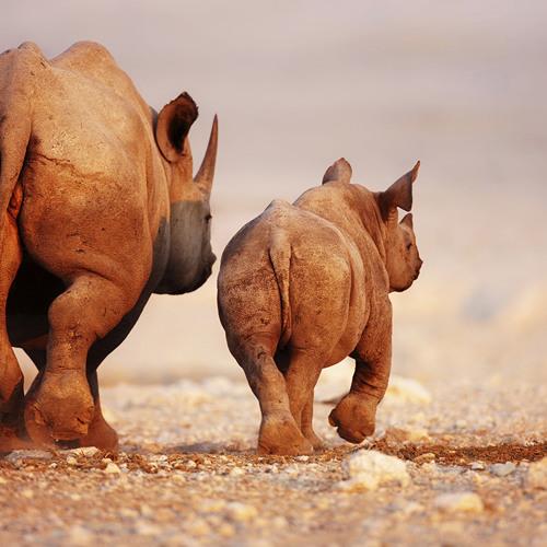 Die Reise der Nashörner