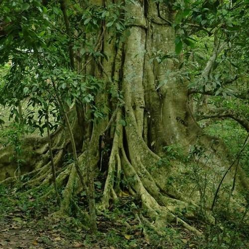 JUNGLE TREE EARTH VS stevens KBOSH
