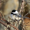 Black-capped Chickadee song
