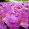 Ipê-de-el-salvador enche as ruas de flores rosadas