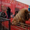 The Millionaire's Mastiff